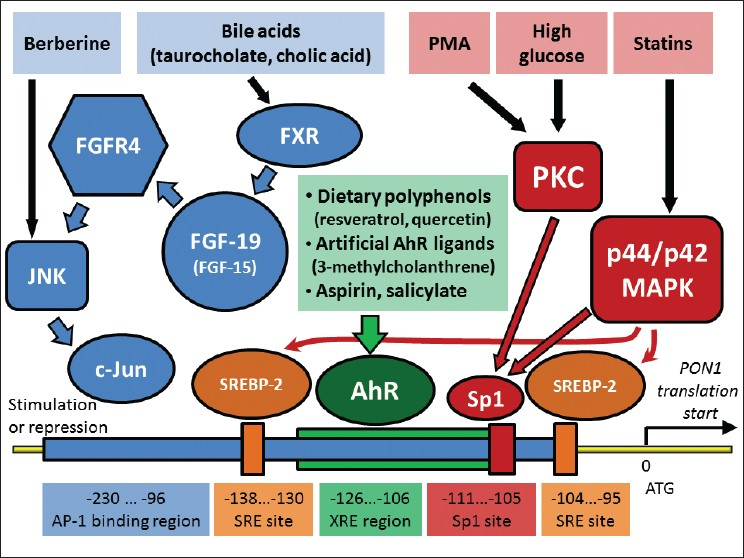 Figure 1: Pathways and transcription factors that involved in transcriptional regulation of PON1 expression in liver. All processes occur in liver, and bile acid -stimulated synthesis of fibroblast growth factor 19 (FGF-19; or FGF-15 in mouse) might be additionally occur in ileum. Positions of regulatory elements are shown based on PON1 gene in human. Arrows represent activation effect. Signals from PMA (phorbol 12-myristate 13-acetate) and high glucose activate transcription factor Sp1 through protein kinases C (PKC) and p44/ p42 mitogen-activated protein kinases (MAPK)