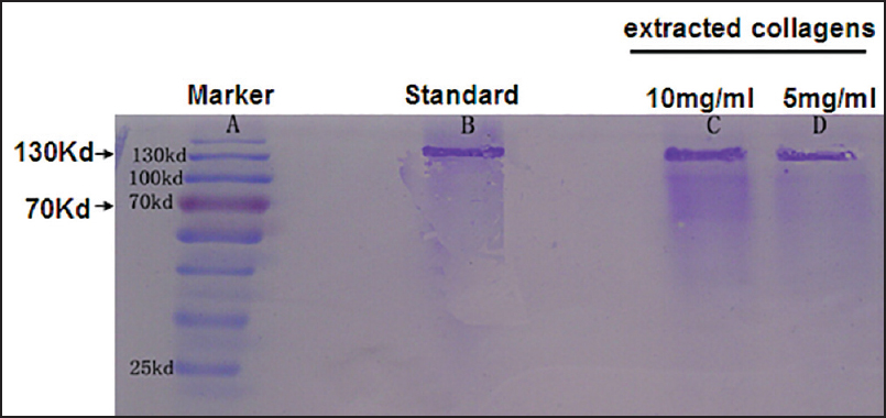 Figure 1: Coomassie Blue staining of extracted collagen. Purity of the isolated CII was confirmed by SDS-PAGE using Coomassie Blue staining. Commercial purified collagen was used as standard